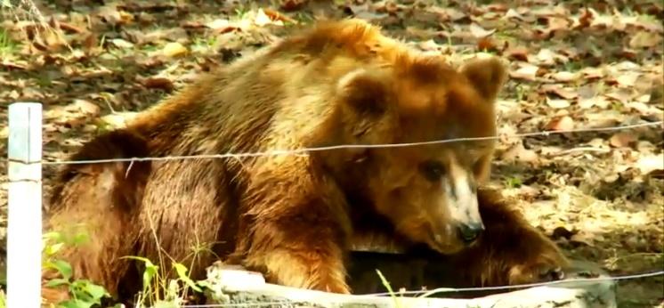 Resgate da ursa Marsha atrasa após pane em avião da FAB